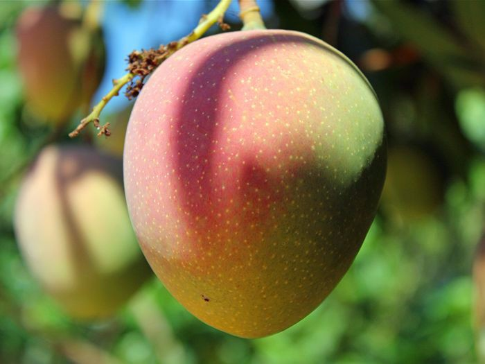 Fresh Australian Mango with cheap price