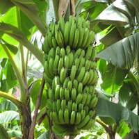 Vietnam Best sales High quality for sales fresh fruit green bananas bunches