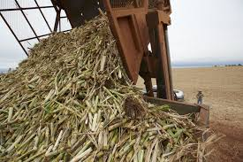 Sugarcane Bagasse For Sale