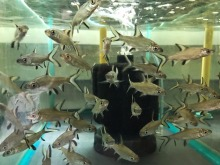 Silver Shark Live Aquarium Fish from Thailand