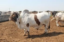 Live Cattle For Import and Export sales