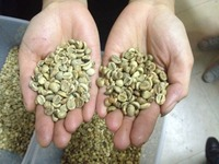 Arabica Green Coffee Beans/Washed/Polished Grade AA 17 up