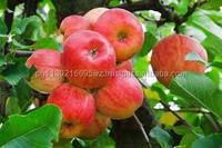 Top good taste fuji apple fruit supply all year at cheap prices