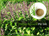 Pure Dry Tulsi Extract