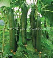 F1 HYBRID GREENHOUSE CUCUMBER SEEDS