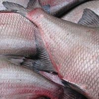 Supplier of Tilapia Bream 200-300g Frozen Fish Nile Whole Sale Price