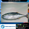 Land Frozen Yellow Fin Tuna Gilled & Gutted Fish