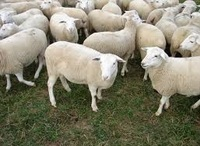 Live Awassi sheeps For Sale.