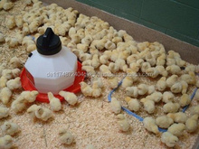 Day old broiler chicks, Ducks and other Chicks