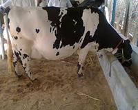 Good Healthy Holstein Heifers Cattle for sale at Good Price