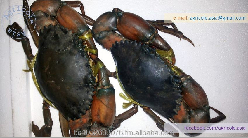 Live Mud Crab from Bangladesh