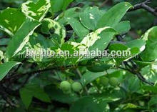 Wholedsalers of Smilax China Extract