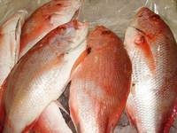 Red Snapper Fish / Frozen