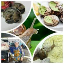 Canned Snails Meat - Escargot Achatine