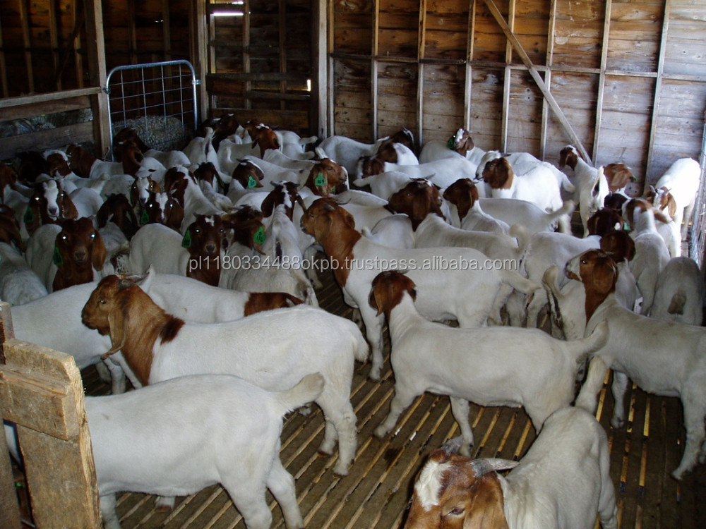 Boer Goats For Sale ( dairy and meet)
