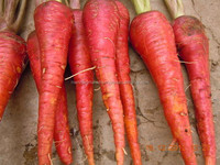 VERY HIGH YIELD CARROT SEEDS FOR Albania for Sowing