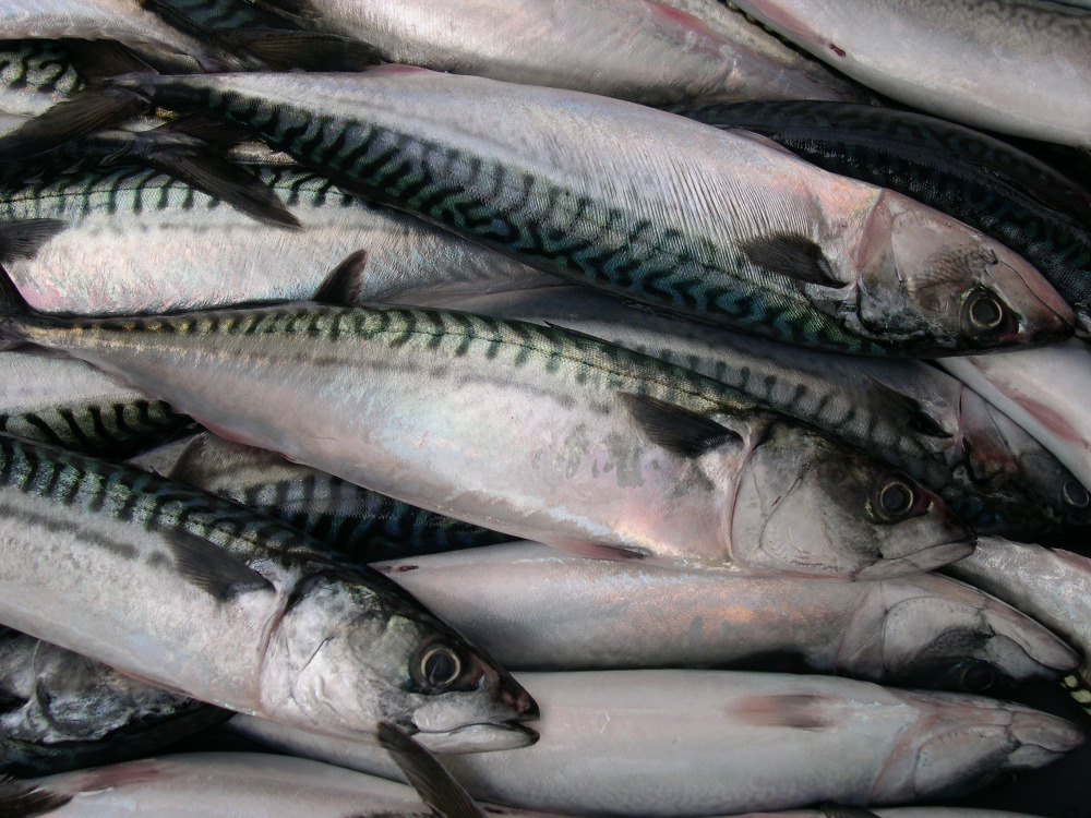 BQF Seafoods And Frozen Food Pacific Mackerel Fish