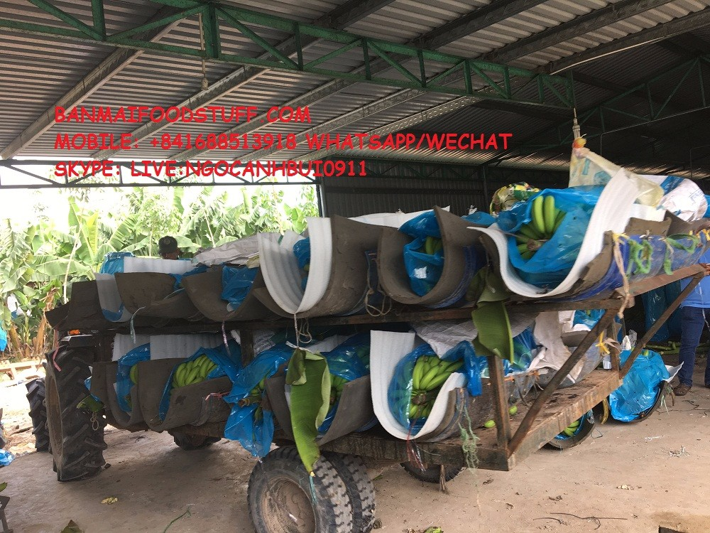 +841688 513 918 FRESH CAVENDISH BANANA FOR HOT SALE
