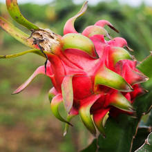 Best price fresh dragon fruit in Viet Nam