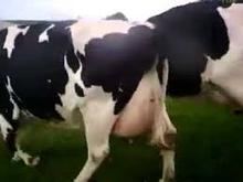 Healthy Live Dairy Cows and Pregnant Holstein Heifers Cow/Boer Goats, Live Sheep, Cattle, Lambs