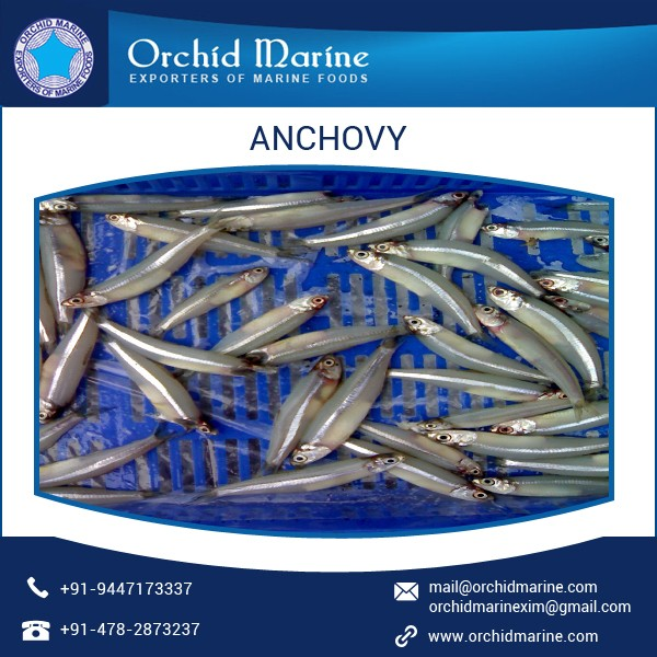 Excellent Quality High Efficient Anchovy for Bulk Buyer