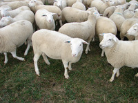 Cream White , vet checked Dorper sheep for sale