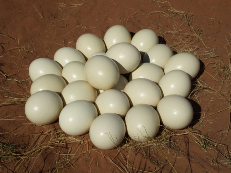 Fertile Ostrich Eggs and Chicks