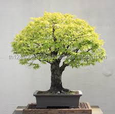 Wholesale indoor ginseng ficus bonsai