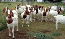 Full Blood Boer Goats from Thailand
