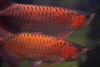Best quality Super Red Arowana fish