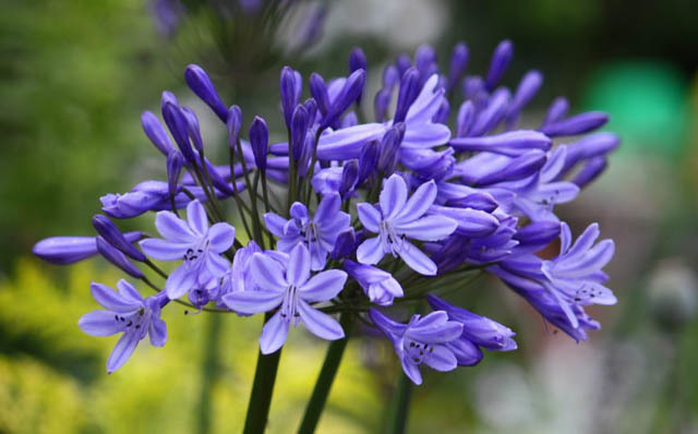 Blue Agapanthus flowers