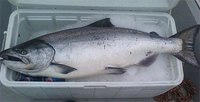 King Salmon Fish For Sale Good Price