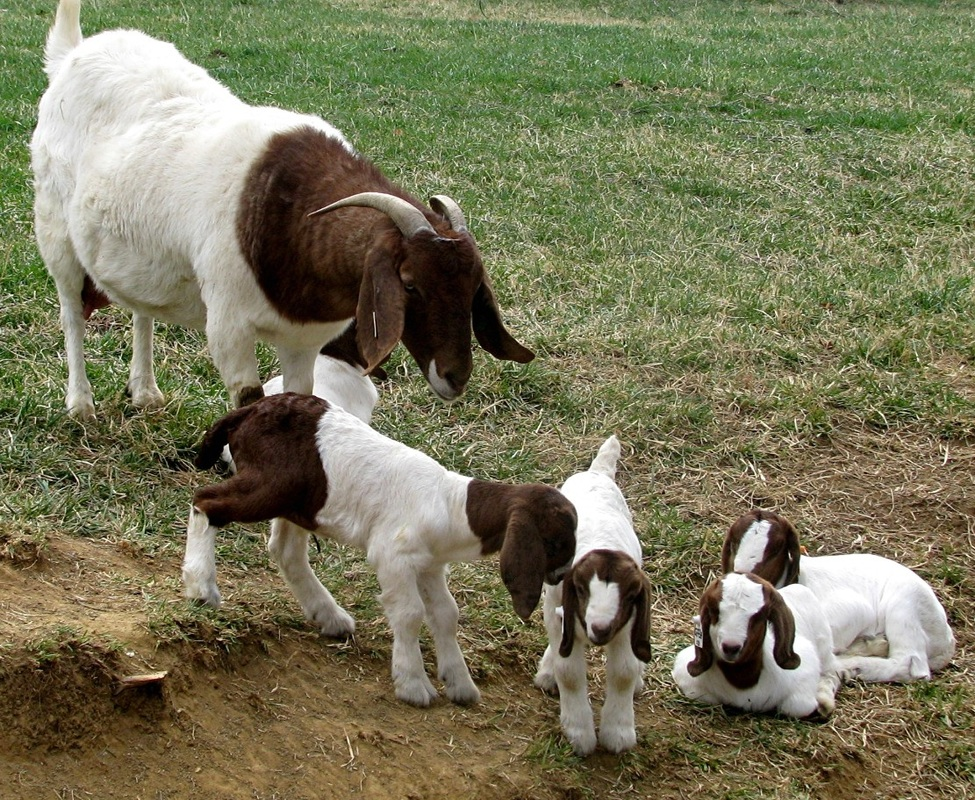 Alive Boer Goats and Merino sheep for sale
