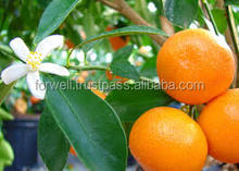 Quality Center superiority...HIGH ...BEST CITRUS ORANGE...VERY NEW NAVEL ORANGE