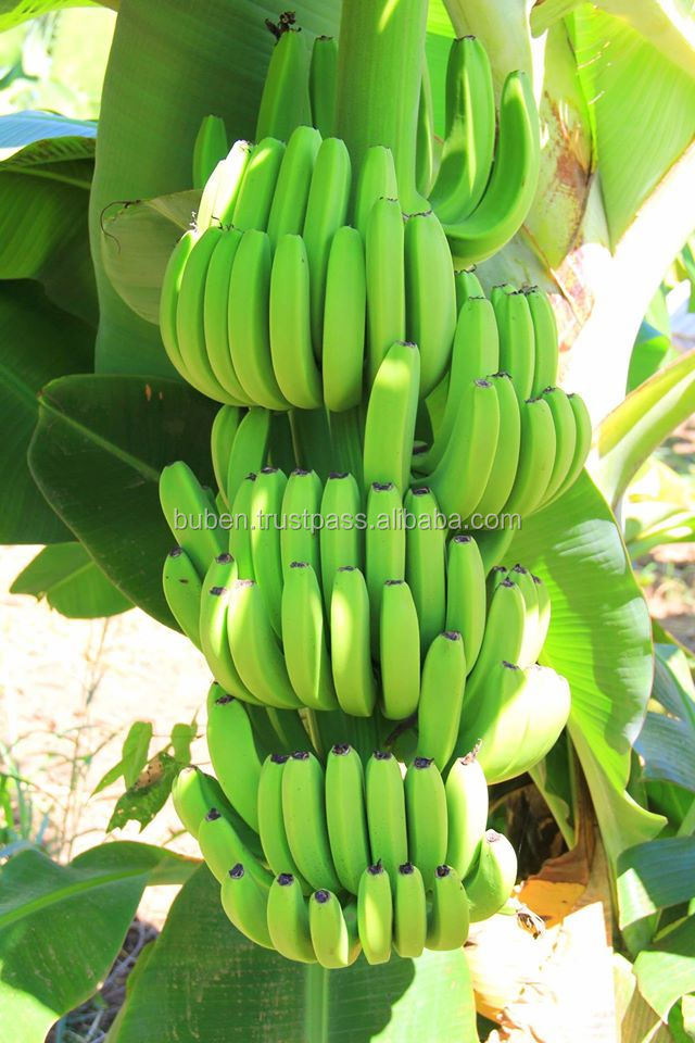 Vietnam Best sales High quality for sales fresh green bananas boats