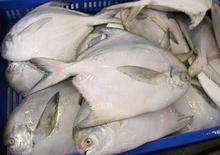 Premium frozen Silver Pomfret Fish Available