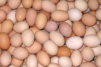 Fresh Chicken Table Eggs & Hatching Eggs