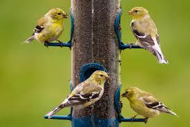 Goldfinches/Lady gouldian Finches/Yorkshire and Lancashire Canary Birds