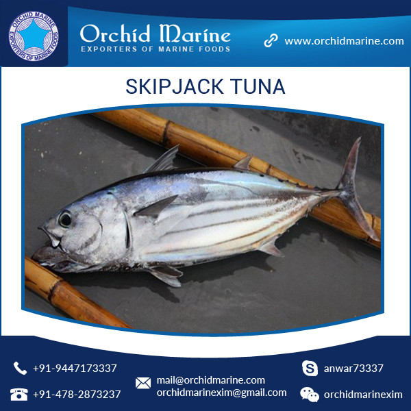 Best Taste/ Digestive/ Healthy Whole Round Skipjack Tuna/ Sea Food