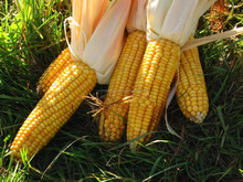 Non GMO White/Yellow Maize Corn In BULK