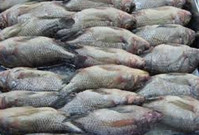 IQF Tilapia Whole Round 300-500g 10kg