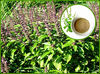 Natural Tulsi Extract