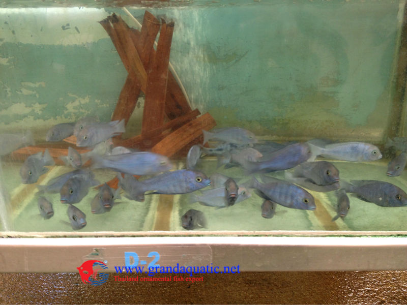 Malawi cichlid fish farm for sale and export buy for Ornamental pond fish for sale