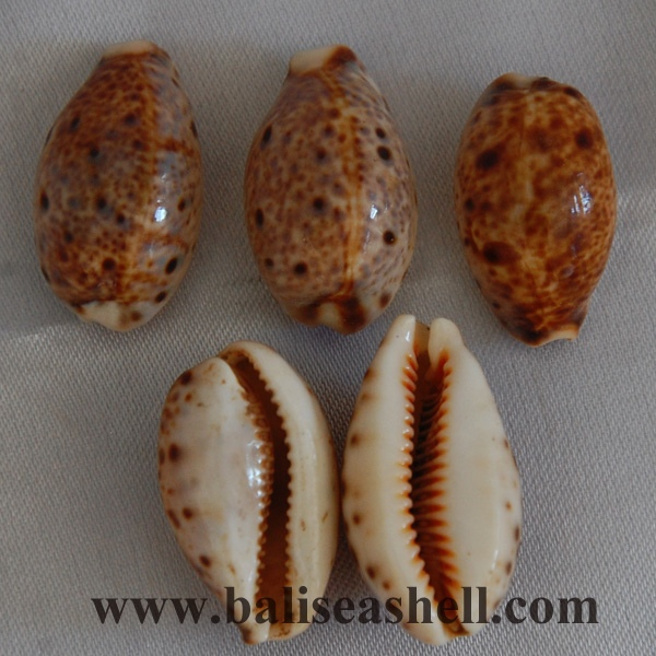 small cowrie shell raw polished
