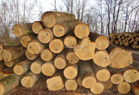 WHITE OAK LOGS FROM LITHUANIA/RUSSIA/UKRAINE (Quercus robur)