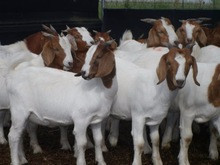 Goats , Alive Boer Goats, Holstein heifers, Cows, Camels, Sheeps, Horse,Boer Goats for Sale