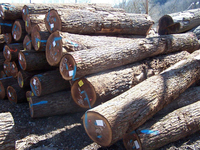 Black Walnut Saw Logs for sales with discount prices...