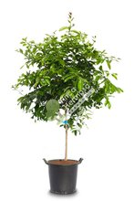 Lemon tree-citrus limon