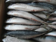 Hot selling frozen WR sardine oil sardines fish