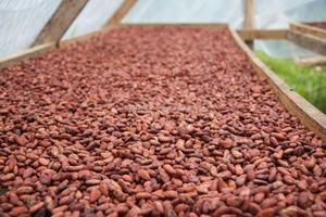 100% pure cacao beans